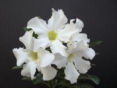 Adenium MORO LOK DOK desert rose bonsai caudex pachycaul seed 15 seeds