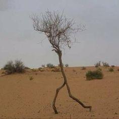 Tree walker.