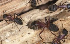 Woodworking School 16 effective remedies get rid of carpenter ants - If you want to know how to get rid of carpenter ants, then you're in luck. Our home remedies for carpenter ants are all the natural treatments that you need to know. Ant Pest Control, Pest Control Services, Bug Control, Weed Control, Types Of Bugs, Types Of Insects, Black Ants, Household Pests, Bees And Wasps