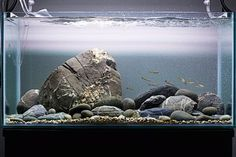 How to set up a White Cloud biotope   Features   Practical Fishkeeping