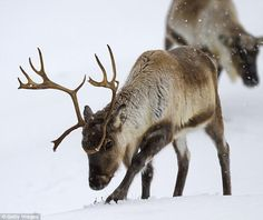 Reindeer are SHRINKING in the Arctic as climate changes curb food | Daily Mail Online