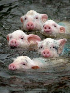 piggies taking a swim