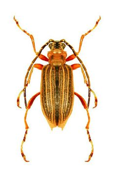 Macroplea mutica