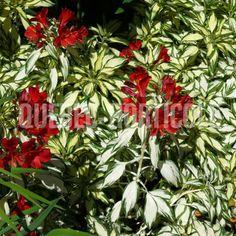 image de Alstroemeria Rock 'n' Roll® Rock N Roll, Photos, Trees, Gardening, Image, Cottage Gardens, Plants, Patio, Flowers