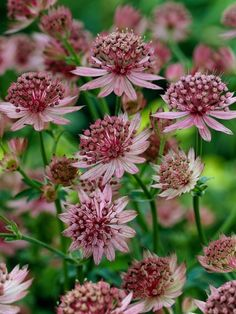 Astrantia major 'Roma' - pink flowers for a long period in summer, to Cottage Garden Plants, Pink Garden, Garden Soil, Shade Garden, Summer Flowers, Cut Flowers, Pink Flowers, Beautiful Flowers, Astrantia Major