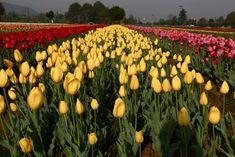 the-tulip-garden-in-srinagar.jpg (550×367)