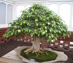 Weeping Ficus Bonsai  I admit to be absolutely fascinated by Bonsais...they are little miracles to me