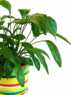 Einblatt (Spatiphyllum)