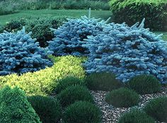 Montgomery Blue Spruce.   Picea pungens 'Montgomery' Common Name:Dwarf Globe Blue Spruce Desc/habit: Dense growing conifer with striking blue color. Slow-growing with globose habit.  Sunlight: Sun.  Size at maturity: 3-4' tall / 4-5' wide
