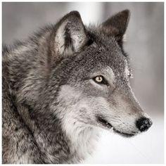 Pour ceux qui aiment la touche animale dans leur intérieur, optez pour la tête de loup imprimée sur toile, une touche déco tendance hiver http://www.decoration.com/tete-de-loup-imprimee-sur-toile,fr,4,ATALYAimpressionloup.cfm