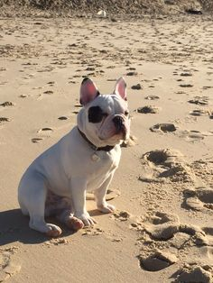 """""""Another stress free day at the Beach""""....""""and I'm bored"""", French Bulldog❤️"""