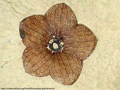 fossilized flower ~ Florissantia quilchenensis