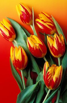 Flame Tulips Photograph by Garry Gay - Flame Tulips Fine Art Prints and Posters for Sale