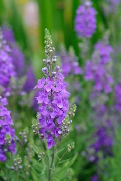 Cut flowers from seed: short form of toadflax, Linaria purpurea 'Freefolk Piccolo' (also known as 'Mini-Me'). Photo by Jason Ingram.