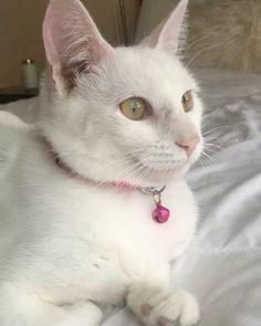 Just minding my own business  #Cat #Instacat #Instacats #Meow #Instacat_meows #Kitty #Kittycat #Catofinstagram #Cutecat #Instapet #Catoftheday #Kittylove #Instakitty #Cateye #Catlover #Cateyes #Catlovers #Cutecats #Animals #Catlove #Catloaf #Mypet #Kittens #turkishangora #vet #veterinarian #whitekittens #whitecat