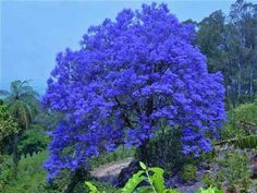 Blue Jacaranda Tree | Jacarandá | Azul da cor do Céu | Pinterest