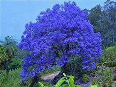 Blue Jacaranda Tree   Jacarandá   Azul da cor do Céu   Pinterest