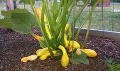 Squash (or zucchini) trained upward using a circular tomato cage- perfect for use in square foot gardening http://forums.gardenweb.com/forums/load/sqfoot/msg0310241914233.html