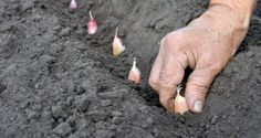 7 Steps To Growing Healthy, Tasty Garlic | Off The Grid News