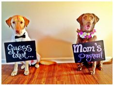 pregnancy announcement... haha, reason # 53 to get another pup