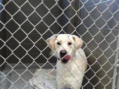 Ford~ Labrador Retriever & Pointer Mix • Adult • Male • Large Washington Wilkes Humane Animal Shelter Washington, GA