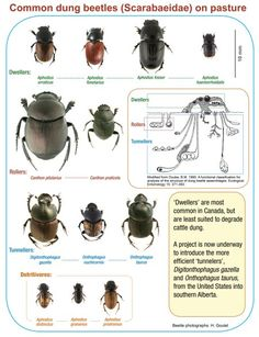 Collection of images of common dung beetles found in cattle dung. I love dung beetles. I think I need to follow this board.