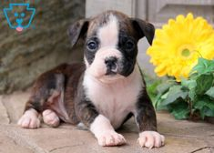 This adorable Boxer puppy is so anxious to meet her new family! She is a social butterfly who will make everyone fall in love with her amazing Boxer Puppies For Sale, Dogs And Puppies, Mountain Dogs, Bernese Mountain, Pet Dogs, Pets, Teacup Chihuahua, Lhasa Apso, Labrador Retriever Dog