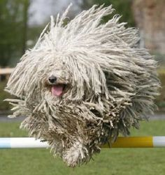 Hippy dog ? Running mop ? / Chien hippie ? Serpillère sur pattes ? / Le Komodor, berger hongrois. / The Komondor, hungarian shepherd.