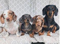 Big beautiful dachshund family . #dachshund #pets #dogs #dogsofinstagram #puppy