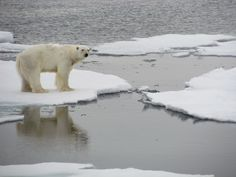 Polar bears are adapted to moving around the Arctic without slipping on or crashing through thin ice. Their paws, which can be up to 30 cm (12 inches) across, help them tread on this ice, enabling the bear to extend its legs far apart and lower its body to evenly distribute its weight. The footpads on the bottom of each paw are covered in small, soft bumps called papillae, which allow the polar bear to grip the ice and not slip.