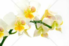 Branch of white orchids - White orchid branch isolated against white background