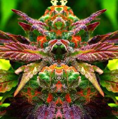 This is supposedly a variety of medical marijuana called rainbow sugar. It is beautiful no matter what it is!