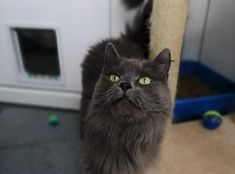 Till is a very fluffy and friendly girl. She needs a home where she can have access to the outside and no other cats or dogs. White Cats, Go Outside, Dog Cat, Blue And White, Pets, Animals, Animales, Animaux, Animal Memes