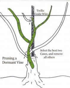 How to Prune a Grape Vine Illustrated