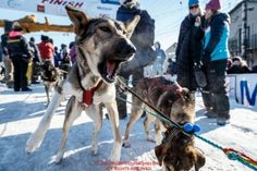 A Jeff King dog is still very eager to run after finishing the Iditarod in the Nome finish chute on Tuesday March 15th during the 2016 Iditarod.  Alaska    Photo by Jeff Schultz (C) 2016  ALL RIGHTS RESERVED: A Jeff King dog is still very eager to run after finishing the Iditarod in the Nome finish chute on Tuesday March 15th during the 2016 Iditarod.  Alaska    Photo by Jeff Schultz (C) 2016  ALL RIGHTS RESERVED