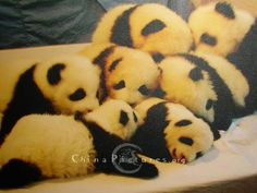 In 1999, China Panda Research Center has successfully breeded 7 baby pandas of the total 8, thus created a livability record of 80% for the precious giant pandas.
