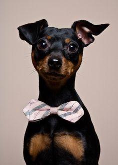 Bow tie dog