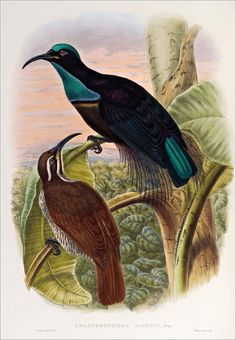Birds of paradise 12