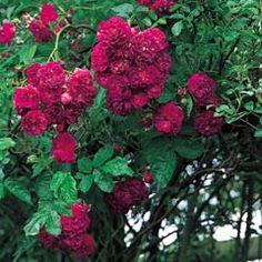 Bleu Magenta - David Austin Roses climber, no repeat, later flowering. no f