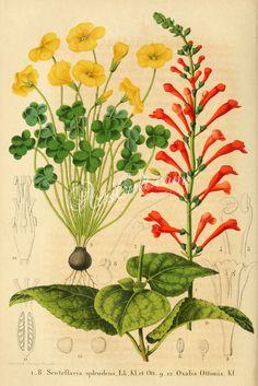 scutellaria splendens, oxalis ottonis      ...