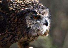 Eagle owl 5 by Chris Flees