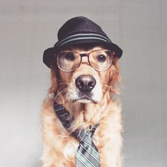 Rusty a rescued Golden Retriever in hat and specs, he is Instagram famous !