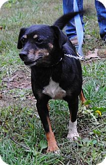 Florence, KY - Terrier (Unknown Type, Medium) Mix. Meet April a Dog for Adoption.