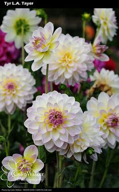 ~~Dahlias by ceepdublu~~