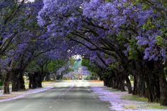 Jacaranda tree tunnel in Johannesburg Beautiful World, Beautiful Gardens, Beautiful Places, Trees Beautiful, Tree Lined Driveway, Tree Tunnel, Street Trees, Purple Trees, Purple Flowers