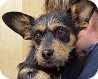 Wildomar, CA - Yorkie, Yorkshire Terrier/Cairn Terrier Mix. Meet 210459 a Dog for Adoption.