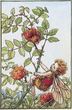 Illustration for the Robin's Pincushion Fairy from Flower Fairies of the Autumn. A small boy fairy swings on a branch of the robin's pincushion bush.  										   																										Author / Illustrator  								Cicely Mary Barker