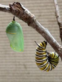 A great guide to raising Monarch Butterflies. We did this the last 2 summers with the kids and they LOVED it. Can't wait to find some Monarch Caterpillars this summer!