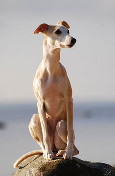 Whippet -------- (by Purebred Dogs, Whippets, Dog Day Afternoon, Whippet Dog, Silly Dogs, Dog Beach, Italian Greyhound, Dogs And Puppies, Doggies