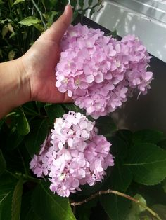 My pink Hydrangeas.. I am so proud to have this in my own garden!
